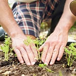planting of young seedlings in garden