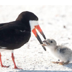 Black Skimmer_Cigarette
